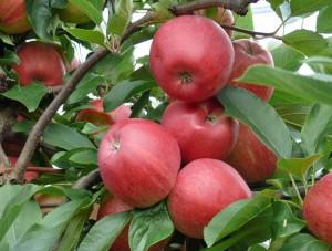 Äpfel ernten knackig, saftig und gesund
