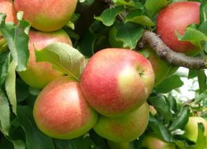 Apfelernte auf Gut Pesterwitz bei Dresden, , Foto: K. Oehlert