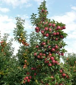 Äpfel rot wie Weihnachtskugeln - Apfelernte auf Gut Pesterwitz bei Dresden
