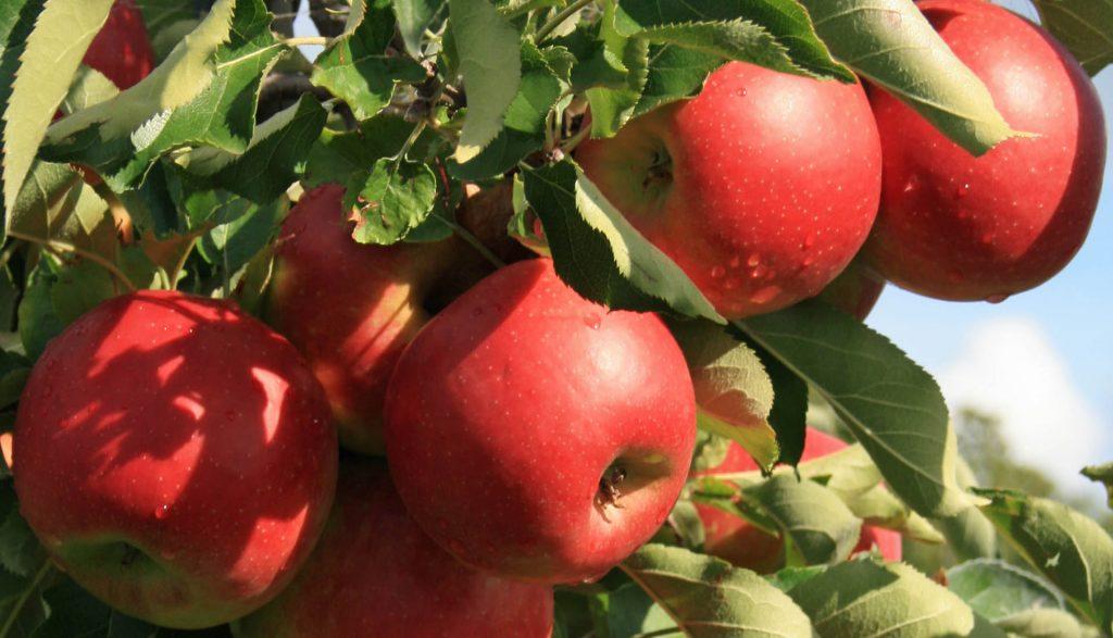 Apfelanbau Pesterwitz