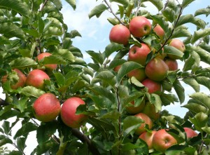 Apfelanbau auf Gut Pesterwitz bei Dresden