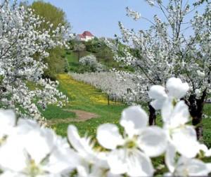 Kirschplantage Gut Pesterwitz im Frühling