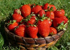 leckere Erdbeeren frisch vom Feld - Gut Pesterwitz - Foto: ©K. Hut