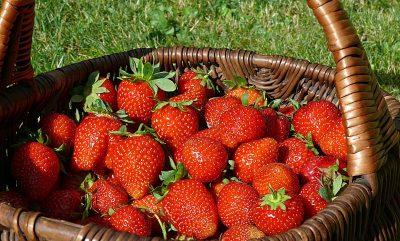 Selbst gepflückte Erdbeeren im Korb