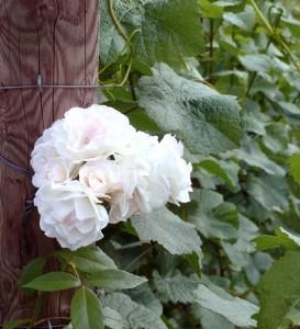 Rosenblüte im Weinberg