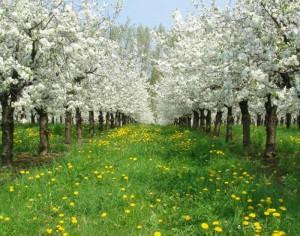 geführter Blütenrundgang über die Obstplantagen