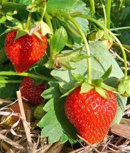Erdbeeren selber pflücken auf Gut Pesterwitz - Foto: ©K. Hut