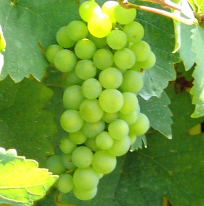 Weißwein aus Sachsen - eine Rarität - Gut Pesterwitz bei Dresden