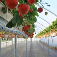 Erdbeeren aus dem Foliezelt
