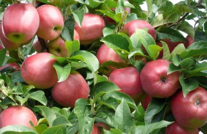 Äpfel vom Hofladen in Gut Pesterwitz bei Dresden