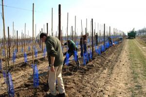 Die Jungen Bäume werden gepflanzt