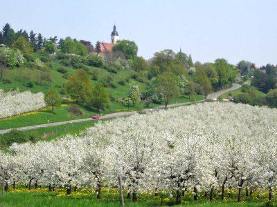 Kirschblüte in Pesterwitz mit Kirche