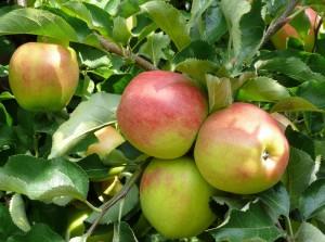 saftige Äpfel - Selbstpflücke oder im Hofladen kaufen