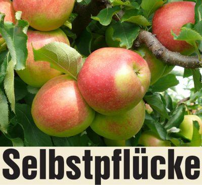 Selbstpflücke Äpfel in Pesterwitz bei Dresden