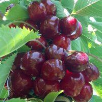 Süßkirschen von Pesterwitzer Plantagen