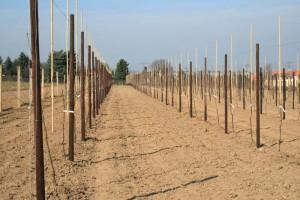 neue Süßkirschen-Plantage