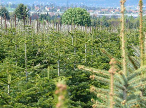 Weihnachtsbäume aus Pesterwitz
