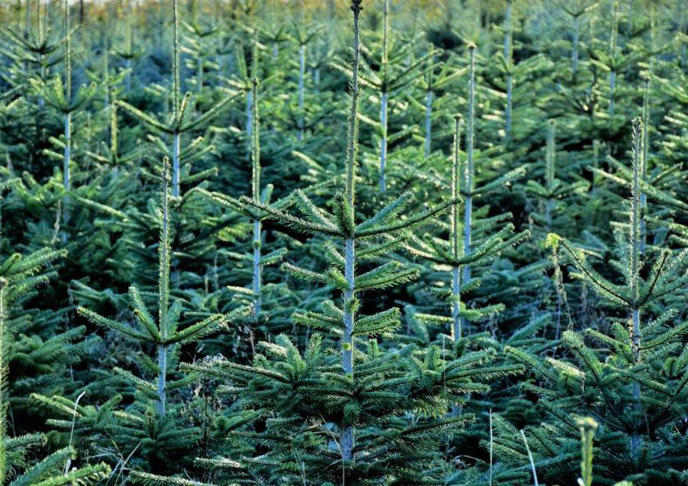Pesterwitzer Weihnachtsbaumplantage - Foto: Steffen Klameth